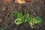 Thực hư tin đồn rắn lục đuôi đỏ nhiều bất thường