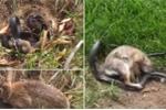 Clip: Mất con, thỏ mẹ điên cuồng tấn công rắn tới tấp