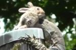 Clip: Kỳ nhông nuốt chửng thỏ