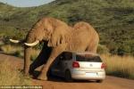Quá 'hưng phấn', voi phá tan xe của khách du lịch