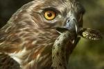 Clip: Chim ưng phục kích rắn đuôi chuông