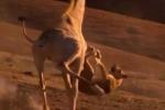 Clip: Hươu cao cổ 'tung cước' như trời giáng đá bay sư tử