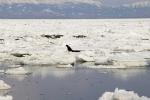 Video: Khám phá hoạt động giải cứu cá voi độc đáo ở Sakhalin, Nga