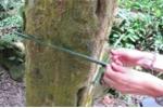 Khu rừng bí ẩn toàn thân cây hình vuông ở Panama