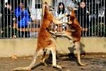 Ảnh đẹp: Kangaroo chống đuôi, bay người tung song cước