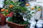 Quất bonsai chơi Tết đắt hàng