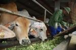 Chuyện cao bồi chăn bò Úc ở Ninh Bình