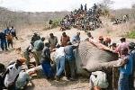 Đói nghèo, cả làng xả thịt voi rừng chia nhau