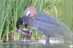 Clip: Chim diệc tiêu diệt cá trê trong nháy mắt