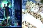 Clip: Bị rắn độc cắn trên sân khấu, nữ ca sĩ vẫn hát tiếp 45 phút trước khi chết
