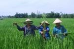 Phun thuốc bảo vệ thực vật, cây lúa lớn như... cây sậy
