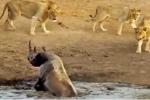Clip: Tê giác sa lầy bị 3 sư tử 'quây hội đồng'