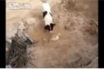 Cảm động cảnh chó mẹ tự chôn cất chó con