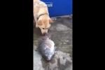 Cảm động cảnh chó cố tát nước cứu cá mắc cạn