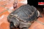 Rùa lạ mọc đuôi như cá sấu ở Việt Nam
