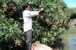 Hưng Yên: Hàng tấn nhãn chín mọng chìm trong nước lũ