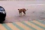 Chú chó nhún nhảy khi nghe nhạc