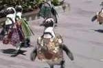 Clip: Chim cánh cụt mặc áo thổ dân diễu hành trên phố