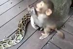 Clip: Khỉ con đè đầu cưỡi cổ trăn 'khủng'