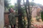Chuyện về cây chè hơn 200 tuổi được trả tiền tỷ ở Hà Nội