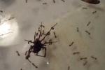 Clip: Nhện tuyệt vọng trước màn tấn công của kiến lửa