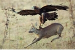 Clip: Sát thủ đại bàng bấm vuốt quắp hươu lên không trung