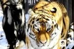 Chuyện lạ ở Nga: Dê đen 'thuần phục' hổ dữ