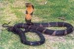 Đi bắt rắn, bị rắn hổ mang cắn chết