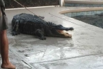 Clip: Hoảng hồn phát hiện cá sấu dài gần 3m 'bơi lạc' vào bể bơi gia đình