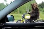 Gấu lái mô tô ngoài đường, chỉ có ở Nga