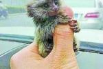 Thú nuôi khỉ bé bằng ngón tay cái khiến nhà giàu Trung Quốc mê mệt