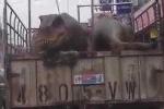 Clip: 'Khủng long' nằm trên xe tải dạo phố gây xôn xao