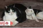 Cận cảnh chú mèo nặng 20kg, giá 120 triệu đồng