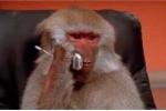 Cười đau ruột clip biểu cảm khỉ nghe điện thoại
