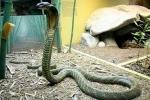 Lạ lùng rắn hổ chúa vào nhà dân ở khiến cả xóm vái lạy