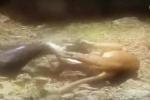 Sư tử mẹ quyết chiến với trăn khổng lồ để bảo vệ con