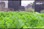 Video: Rùng mình vườn rau xanh tươi trong khu nghĩa địa ở Hà Nội