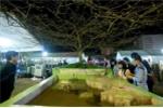 Những cây cảnh tiền tỷ ở chợ Tết Giáp Ngọ