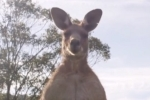'Gạ' người đánh nhau và những khoảnh khắc 'cà khịa' của kangaroo