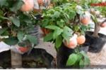 Video: Táo tàu bonsai trĩu quả chưng Tết hút khách