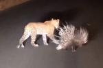 Báo đốm chào thua trước bộ lông của nhím khổng lồ