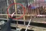 Clip: Hiếu kỳ, thò tay vào chuồng cho hổ ăn, bị hổ ngoạm suýt đứt lìa tay