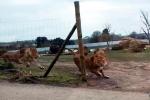 Video: Đàn sư tử hung hãn tấn công ô tô chở trẻ em trong công viên Anh