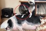 Clip: Chó cố đánh thức lợn để 'bàn giao nhiệm kỳ'