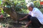 Video: Cây vú sữa dáng long 'độc' nhất xứ dừa, được định giá hơn 300 triệu đồng