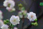 Chiêm ngưỡng vườn nhất chi mai đẹp hiếm có, khó trồng ở Hà Nội