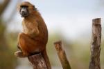 Hàng chục khỉ đầu chó sổng chuồng, sở thú Paris đóng cửa