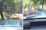 Hổ dữ lại tấn công xe du khách trong công viên hoang dã