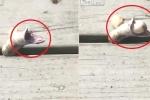 Clip: Bị mắc kẹt, rắn quằn quại nôn cả đống trứng để thoát thân