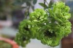 Mục sở thị hơn 1.000 giống hoa hồng độc lạ, tuyệt đẹp đang khoe sắc ở Hà Nội